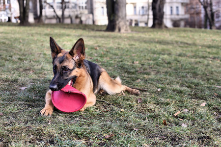 German Shepherd with a toy on the grass