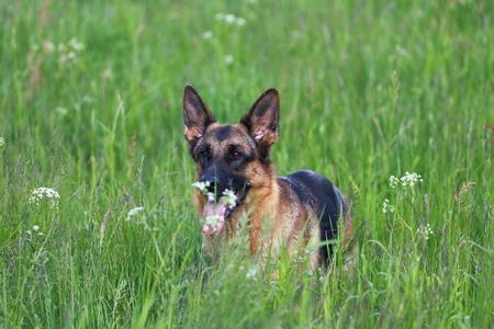 young German Shepherd Zdjęcie Seryjne