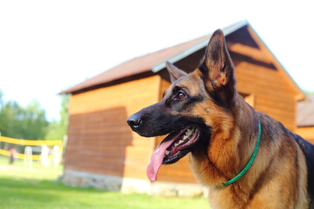 German Shepherd, young German Shepherd, German Shepherd on the grass,