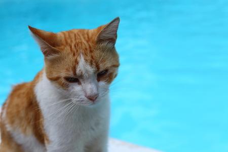 ginger cat - blue background