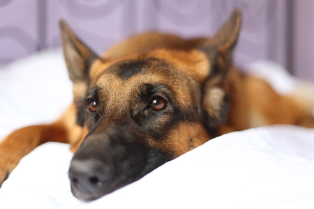 german shepherd lying on the bed at home - dog at home