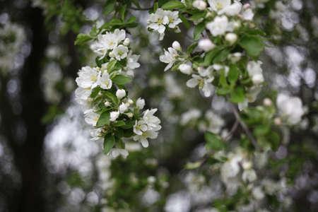 fleurs de cerisiers: cherry blossoms