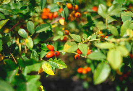 rose hips surrounded by greenery. selective focus, blur.
