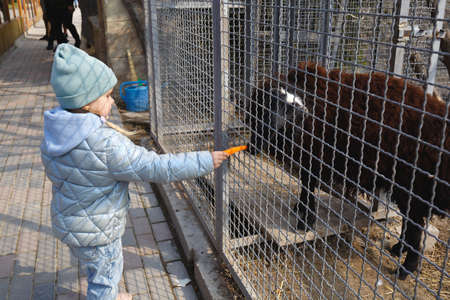 scarlet cute girl feeds a lamb in the zoo with carrots.