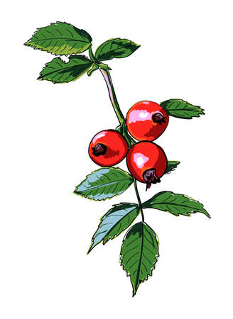 Vector image of a branch of wild rose. Botanical sketch of red rose hips and green leaves. Bright berries are hand-drawn