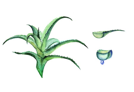 aloe vera plant: Aloe watercolor