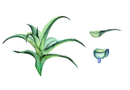 vera: Aloe watercolor