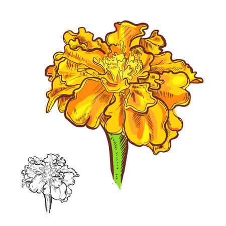 marigold: illustration of flowers marigold.