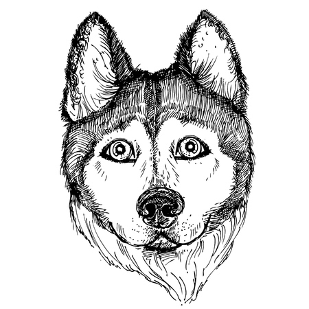 Hand drawn vector illustration dog husky. sketch. Illustration
