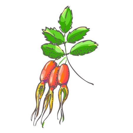 rose hips: the berries of wild rose hips Illustration