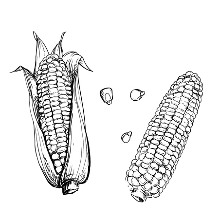 corn stalk: Hand drawn vector illustration set of corn, grain, stalk. sketch. Vector eps 8