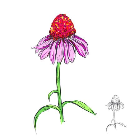 hand drawn vector illustration with flowers echinacea.