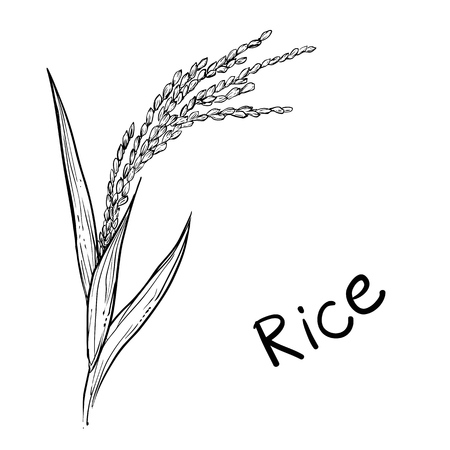 Hand drawn vector illustration of rice plant, grain. sketch. Vector eps 8.