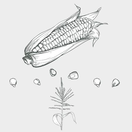 手描きのベクトル図は、トウモロコシ、穀物、茎のセット。スケッチします。ベクター eps 8
