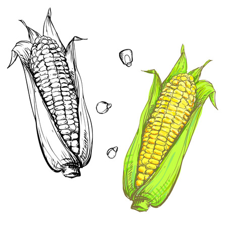 Hand drawn vector illustration set of color and monochrome corn, grain, stalk. sketch. Vector eps 8 Illustration