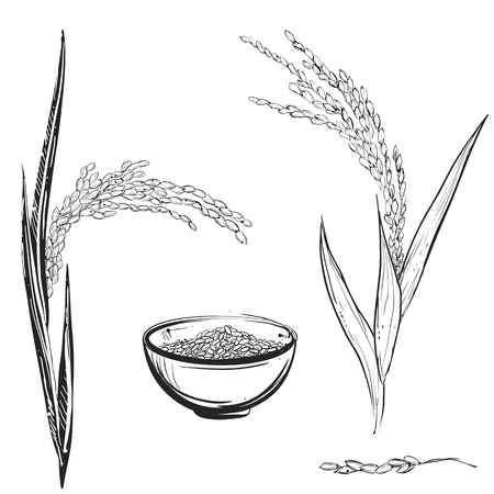 Hand drawn monochrome vector illustration of rice plant, grain, cup. sketch. Vector eps 8. Illustration