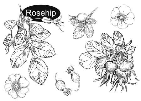 Hand drawn vector illustration set of rosehip, leaf, flowers. Black and white sketch of berry. Painting isolated. Vektorgrafik