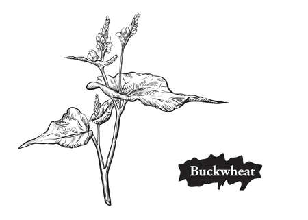 Detailed hand drawn black and white illustration of flowers buckwheat. sketch. Vector. Elements in graphic style label, card, sticker, menu, package.