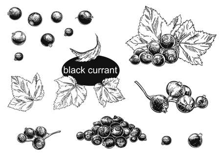 Detailed hand drawn vector illustration set of blackcurrant. Black and white sketch of isolated currant.