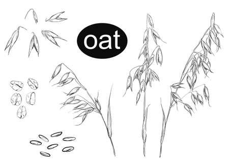 Detailed hand drawn ink black and white illustration set of oat, grain, oatmeal, leaf. sketch. Vector. Vector Illustration