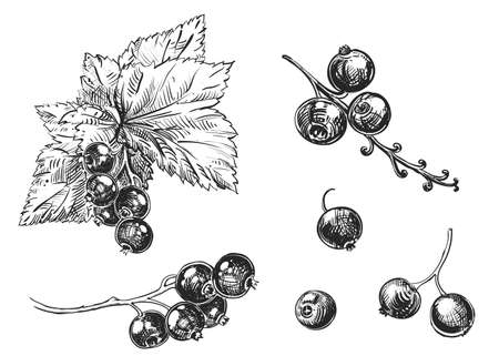 Detailed hand drawn black and white illustration set of berry, cane fruit, leaf. sketch. Vector. Elements black currant in graphic style label, card, sticker, menu, package.