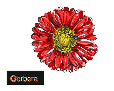 hand drawn color vector illustration of flowers gerbera.