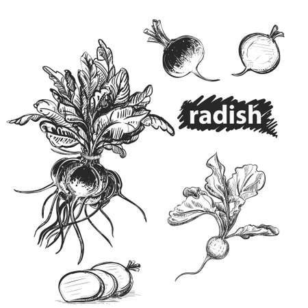 Detailed hand drawn black and white, color illustration set of radish. sketch. Vector. Elements in graphic style label, card, sticker, menu, package.