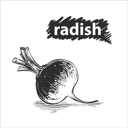 Detailed hand drawn black and white, color illustration of radish. sketch. Vector.