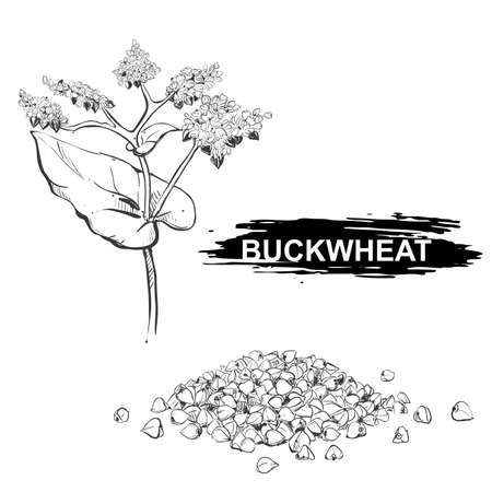 Hand drawn illustration set of buckwheat, grain. sketch. Vector eps 8