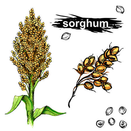 Hand drawn color vector illustration set of sweet sorghum, grain, branch. sketch. Vector eps 8.