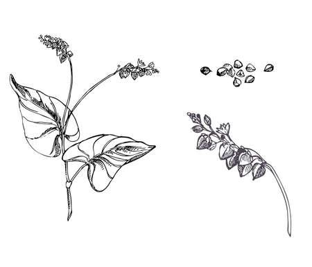 Hand drawn vector illustration set of buckwheat, grain. sketch. Vector eps 8