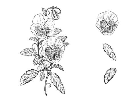 Hand drawn sketch black and white set of pansy, violets flower. Vector illustration. Elements in graphic style label, card, sticker, menu, package. Engraved style illustration.