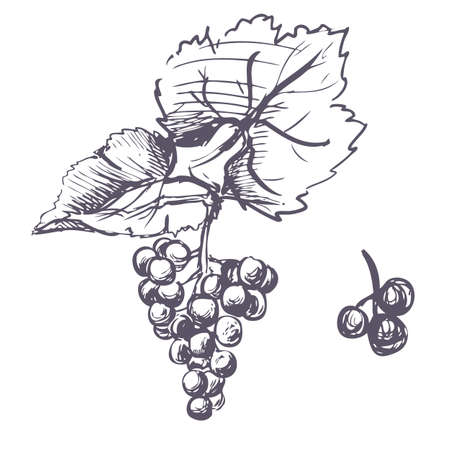 Hand drawn vector black and white illustrations of grapes. sketch.  イラスト・ベクター素材
