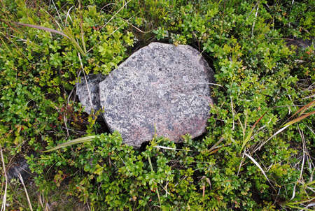 onega: Stone covered with moss and cranberries around