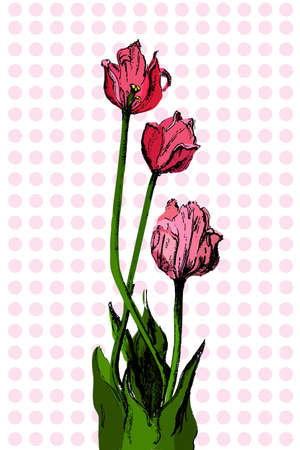 bouqet: Hand drawn bouqet of tulip  which can be used as greeting card, invitation card for wedding, birthday and other holiday and floral background