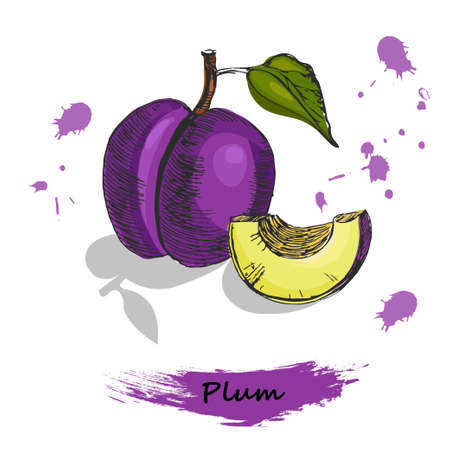 Plum illustration. Colorful sketch of hand drawn plum, isolated on white background with shadow.