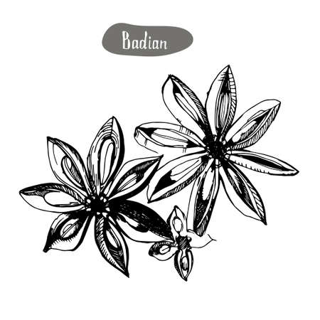 Star Anise or badian hand drawn sketch.Engraved style spice and flavor object. Illustration