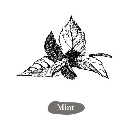 Mint vector drawing illustration, isolated on the white background. Herbal engraved style illustration Ilustração
