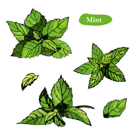 Mint vector drawing illustration, isolated on the white background. Collection of twigs and mint leaves.Herbal engraved style illustration