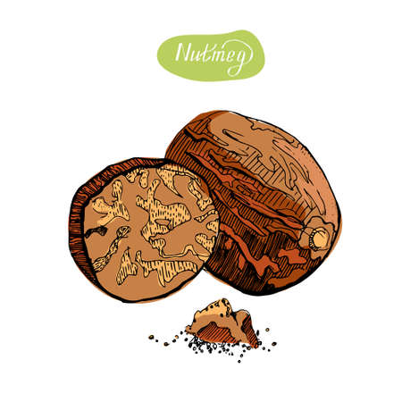 Nutmeg. Hand drawn colorful vector illustration.Kitchen spices. Vektorgrafik