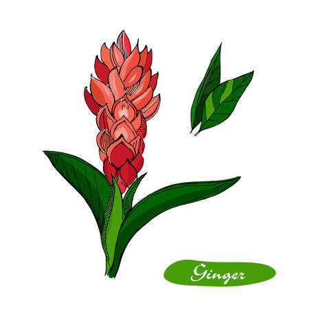 Ginger hand drawn vector illustration.Detailed retro style sketch.Kitchen herbal spice and food ingredient.Ginger flower and leaves .Isolated spice object.