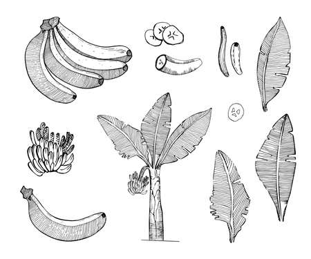 Banana sketch set illustration with leaves,tree,bananas fruits.Detailed botanical style sketch. Tropical fruit and tree.Isolated exotic objects.Banana palm vector collection.