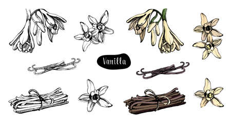 Vanilla flower isolated on the white background.Sketch vector illustration.Aromatic spice.Collection of vanilla and vanilla sticks