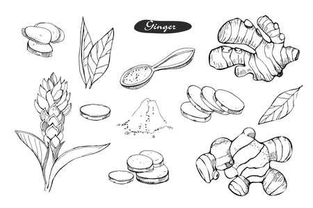Ingwer handgezeichnete Vektor-Illustration. Detaillierte Retro-Stil-Skizze. Küchenkräutergewürz und Lebensmittelzutat. Ingwerblume, Pulver, Blätter, Wurzel und Stücke. Isoliertes Gewürzobjekt.