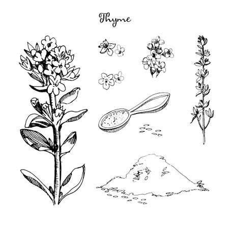 Thyme illustration in sketch style, isolated on white background. Botanical seasoning illustration with flowers, stem,inflorescences and leaves of thyme. Healthy cooking.