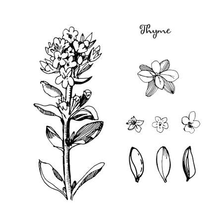Thyme illustration in sketch style, isolated on white background. Botanical seasoning illustration with flowers and leaves of thyme. Cartoon style Healthy cooking.