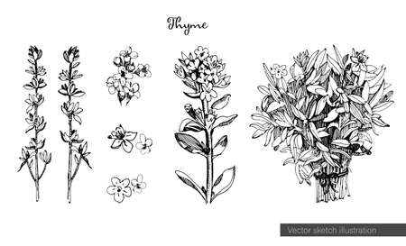 Thyme illustration in sketch style, isolated on white background. Botanical seasoning illustration with flowers and leaves of thyme. Healthy cooking ingredients.