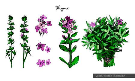 Tymianek ilustracja kolorowy w styl szkic, izolowana na białym tle. Ilustracja przypraw botanicznych z kwiatami, łodygami, kwiatostanami i liśćmi tymianku. Zdrowe gotowanie. Ilustracje wektorowe