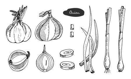 Onion hand drawn vector illustration.Detailed retro style sketch.Kitchen herbal spice and food ingredient.Onion, isolated cooking object.