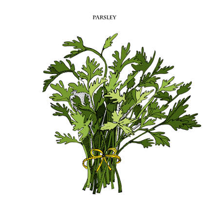 Parsley sketch colorful illustration.Detailed hand drawn style sketch.Kitchen herbal spice and food ingredient. Culinary herb and garnishing food. Vektorgrafik